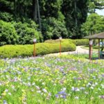豊橋市・賀茂しょうぶ園『花しょうぶまつり』
