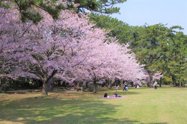 高師緑地公園の桜が満開