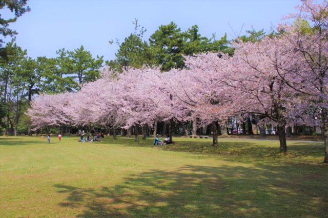 高師緑地公園の桜開花状況