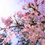高師緑地の桜が満開です