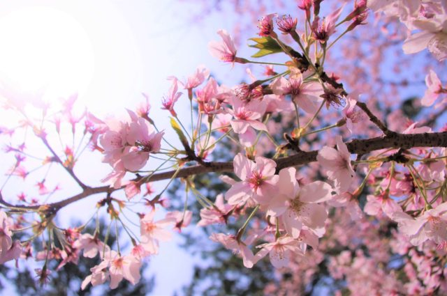 豊橋市高師緑地の桜