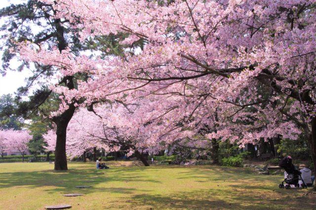 高師緑地公園の桜が満開の様子