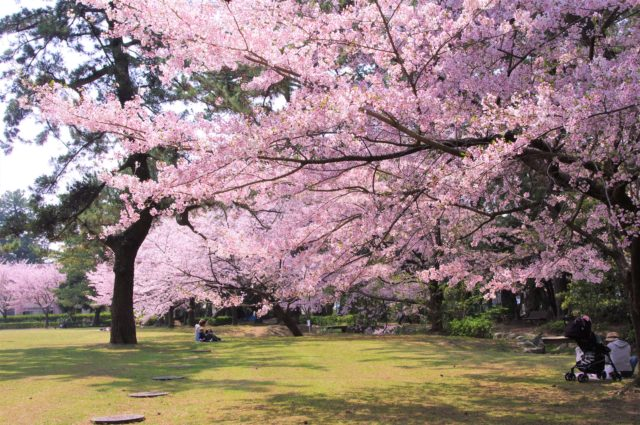豊橋市 高師緑地公園の桜