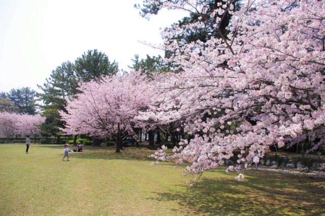 高師緑地の桜開花状況